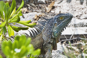 Iguana ona beach, Conch Point, Grand Cayman. by Patrick Reardon 